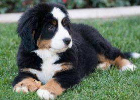 Boiadeiro Bernês – Cão de Estimação