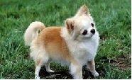 O Magnífico Pet Chihuahua – Raça de Cachorros