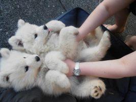 Os cachorros podem se assemelhar com bebês, entenda
