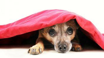 Veja o tratamento da fobia de ruído em cães