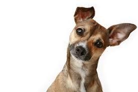 Já se perguntou o porquê do pet inclinar a cabeça?
