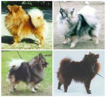 racas-de-caes - O Cachorro Spitz Alemão - O Cachorro Spitz Alemão