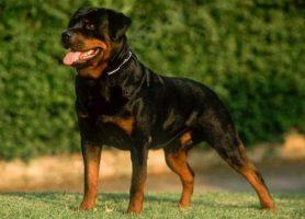 Informações essenciais da raça Rottweiler