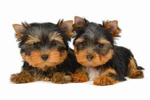 Informações gerais da raça Yorkshire Terrier